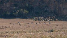 Una manada de las cebras africanas salvajes que caminan en una tierra polvorienta y árida en la reserva metrajes
