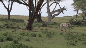 Una manada de las cebras que pastan en un campo y camina Savannah Of Acacias africana almacen de metraje de vídeo