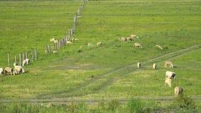 Una manada de las ovejas que pastan en un prado almacen de metraje de vídeo