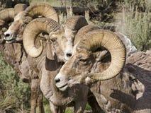 Una manada de las RAM grandes de las ovejas del claxon Fotografía de archivo libre de regalías