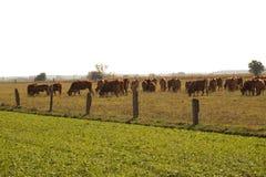 Una manada de las vacas en el pasto, becerros en el medio de la manada fotografía de archivo