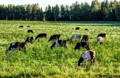 Una manada de las vacas que pastan en el prado Foto de archivo libre de regalías