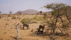 Una manada de los antílopes Waterbuck que descansa en la sombra de la reserva de Samburu de los árboles almacen de metraje de vídeo
