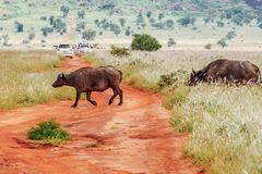 Una manada de los búfalos africanos que cruzan un camino de tierra en el santuario de fauna de las colinas de Taita, Voi, Kenia foto de archivo
