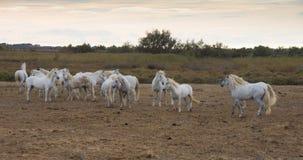 Una manada de los caballos blancos imagen de archivo libre de regalías