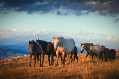 Una manada de los caballos salvajes que caminan en la montaña Fotografía de archivo