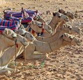 Una manada de los camellos que se acuestan en una línea recta en el desierto egipcio imagen de archivo