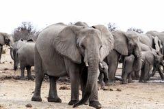 Una manada de los elefantes africanos que beben en un waterhole fangoso Foto de archivo libre de regalías