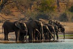 Una manada de los elefantes africanos que beben en un waterhole que levanta sus troncos, parque nacional de Chobe, Botswana, Áfri Foto de archivo