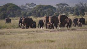 Una manada de los elefantes africanos salvajes que caminan en un llano caliente en la sabana almacen de metraje de vídeo