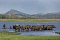Una manada de los elefantes que se bañan en el tanque y el x28; reservoir& artificial x29; en el parque nacional de Minneriya a f Imágenes de archivo libres de regalías