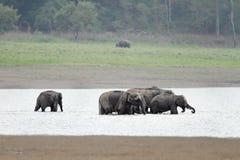 Una manada de los elefantes que toman el baño en el río de Ram Ganga Fotografía de archivo libre de regalías