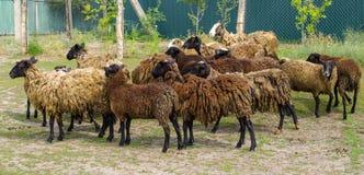 Una manada de ovejas marrones oscuras