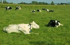 Una manada de vacas. Foto de archivo