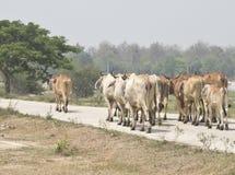 El rebaño de vacas sigue al líder Imagen de archivo