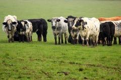 Una manada de vacas en un campo Foto de archivo libre de regalías