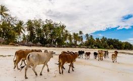 Una manada de vacas salvajes, fugada de la costa foto de archivo libre de regalías