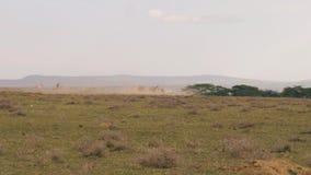 Una manada del ñu corre rápidamente de un depredador en la sabana africana almacen de video
