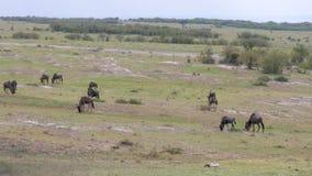 Una manada del ñu que pasta en un campo verde en la sabana africana almacen de metraje de vídeo
