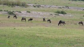 Una manada del ñu que pasta en un prado verde en la sabana africana almacen de video