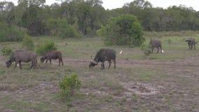 Una manada del búfalo que pasta en un campo cerca de los arbustos de la reserva africana almacen de metraje de vídeo
