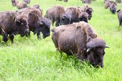 Una manada del bisonte salvaje que pasta en el campo Foto de archivo