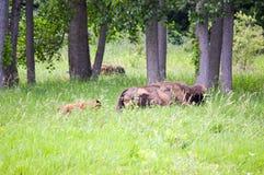 Una manada del bisonte salvaje que pasta en el campo Foto de archivo libre de regalías