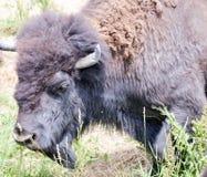 Una manada del bisonte salvaje que pasta en el campo Fotografía de archivo libre de regalías