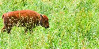 Una manada del bisonte salvaje que pasta en el campo Imágenes de archivo libres de regalías