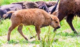 Una manada del bisonte salvaje que pasta en el campo Imagen de archivo libre de regalías