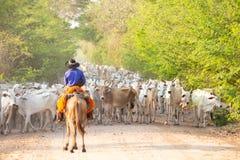 Una manada del ganado conducido por un gaucho foto de archivo libre de regalías