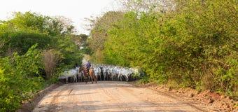 Una manada del ganado conducido por un vaquero foto de archivo