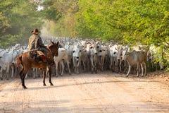Una manada del ganado conducido por un vaquero imagen de archivo