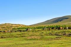 Una manada del ganado en el prado extenso Fotografía de archivo libre de regalías