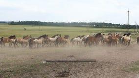 Una manada del polvo aumentado caballos metrajes