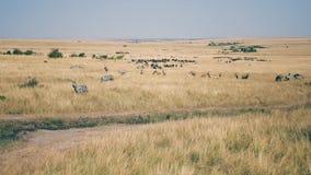 Una manada enorme de cebras y de antílopes africanos en la sabana con la alta hierba seca almacen de video
