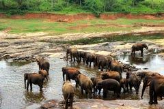 Una manada grande de elefantes marrones se baña en el río Imagen de archivo libre de regalías