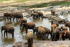 Una manada grande de elefantes marrones se baña en el río Foto de archivo