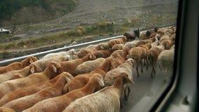 Una manada grande de las ovejas que caminan en el borde de la carretera con un pastor, Paquistán almacen de metraje de vídeo