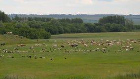 Una manada grande de los animales, ovejas, vacas, caballos, un pájaro en un prado verde de la primavera almacen de metraje de vídeo