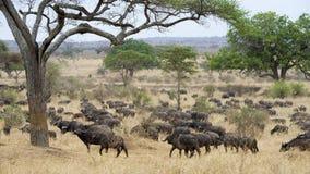 Una manada grande del búfalo del cabo Fotografía de archivo libre de regalías