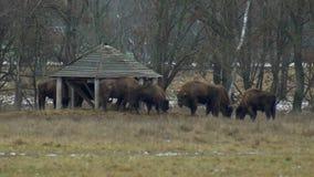 Una manada grande del bisonte europeo que come la hierba contra la perspectiva del bosque, 4K, paisaje metrajes