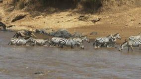 Una manada y un ñu de la cebra cruza con seguridad el río de Mara en reserva del juego de Mara del masai metrajes