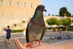 Una manciata di piccione fotografia stock libera da diritti