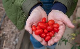 Una manciata di piccoli pomodori ciliegia organici freschi rossi succosi dei pomodori ha ammucchiato in forma di cuore nella mano fotografia stock libera da diritti