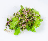 Una manciata di ravanello germoglia fra le foglie verdi fresche della lattuga Fotografia Stock Libera da Diritti