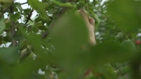 Una mano de la mujer que escoge una manzana madura roja del manzano almacen de metraje de vídeo