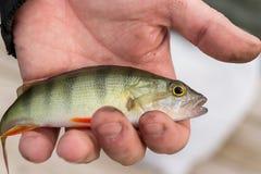 Una mano del ` s del hombre con un pequeño pescado crudo fresco Pesca competición imagen de archivo