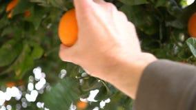 Una mano del ` s del hombre rasga los mandarines maduros de un árbol Naranjas de la selección de los granjeros en la huerta españ almacen de metraje de vídeo