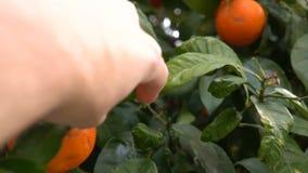 Una mano del ` s del hombre rasga los mandarines maduros de un árbol Naranjas de la selección de los granjeros en la huerta españ metrajes